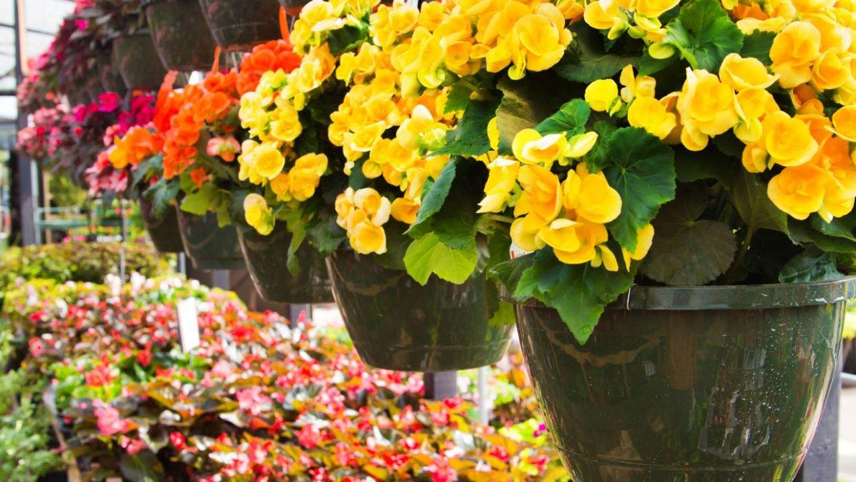 Tipos De Begonias Cultivo De Begonias Cuidados Plantas