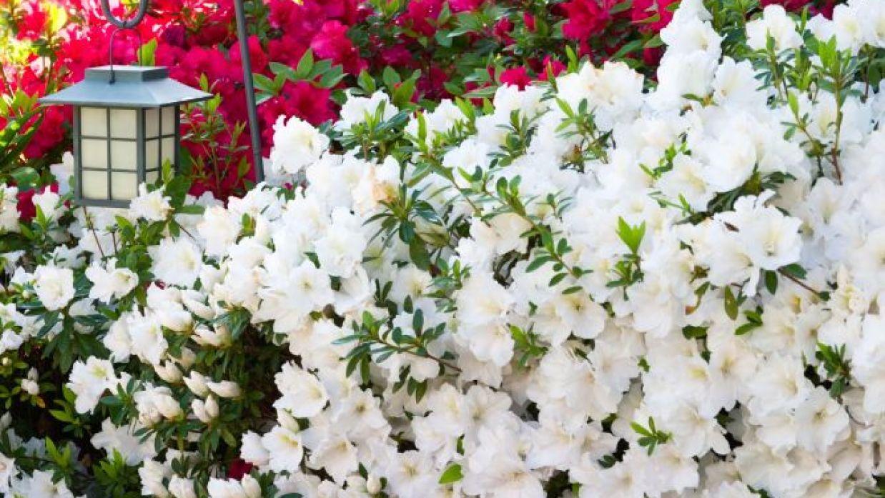 Azaleas Y Rododendros Bricomania