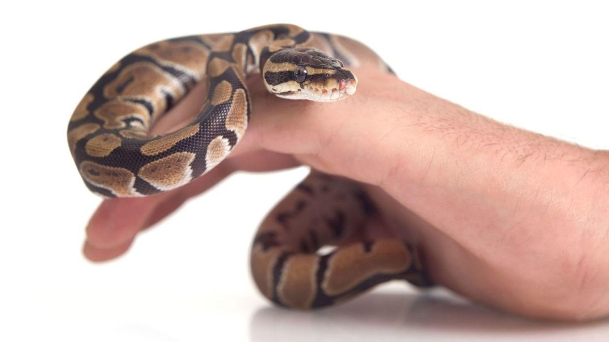 Cómo cuidar los parásitos en las serpientes