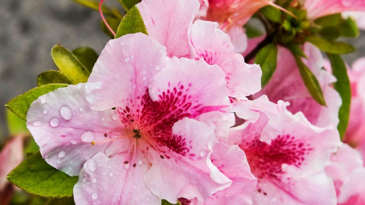 3 claves para cultivar azaleas - Jardinatis