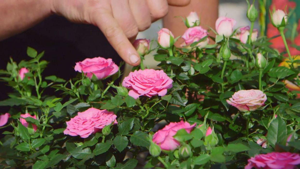 Cuidados de la rosa de pitiminí o rosal mini
