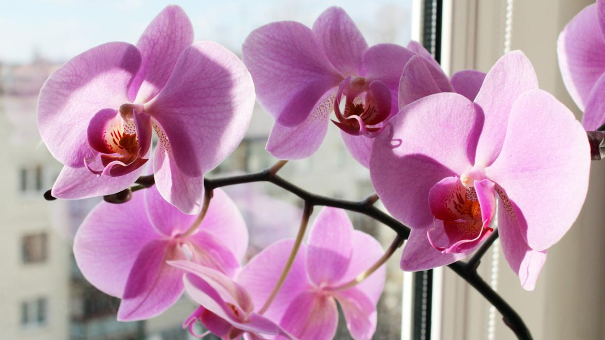 Como Reproducir Orquideas Phalaenopsis En Casa Jardinatis Se agregan miles de imágenes nuevas de. https www hogarmania com jardineria tecnicas reproduccion como reproducir orquideas phalaenopsis casa 35029 html